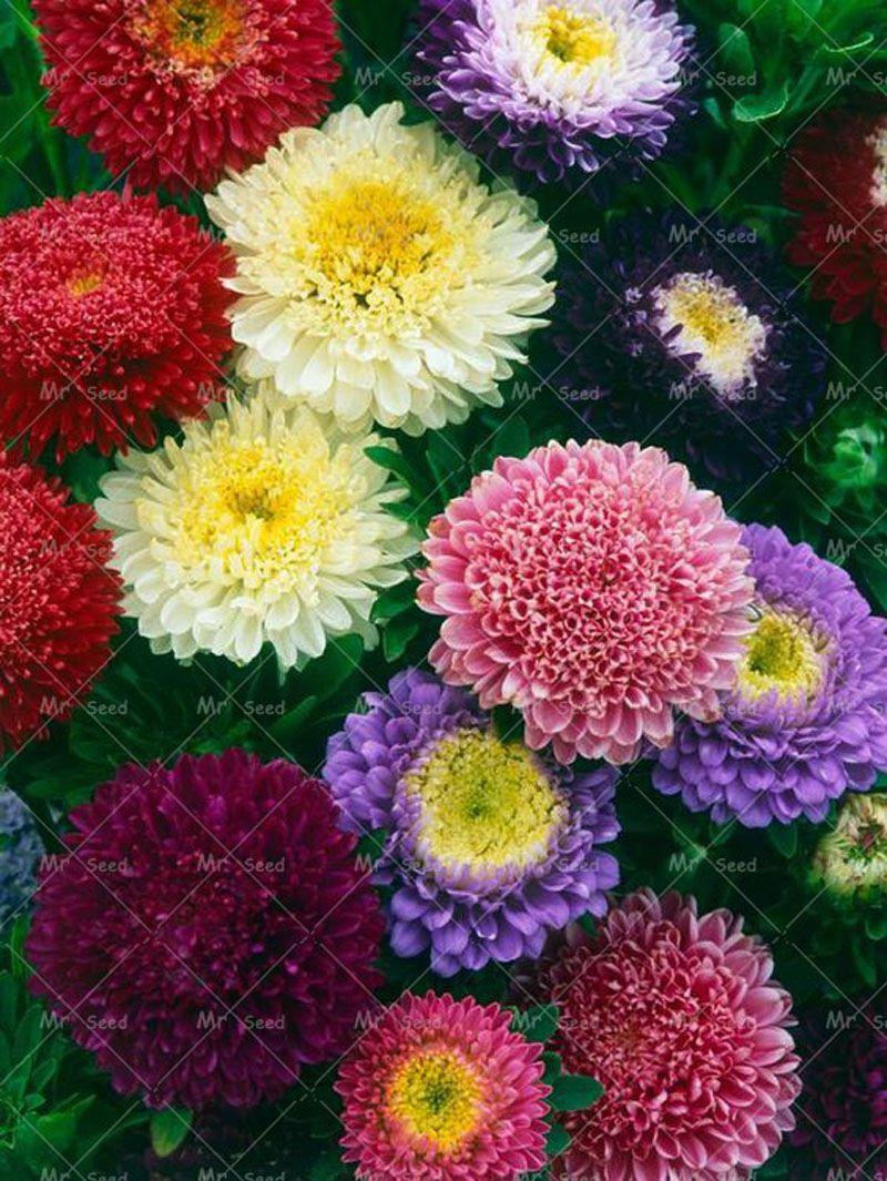 200pcsbag Aster Seeds Aster Flower Bonsai Flower Seeds Rainbow
