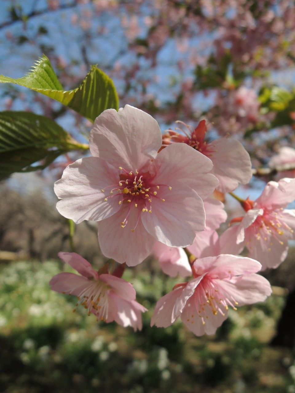 Little cherry blossom shines on in Shinjuku Gyoen National