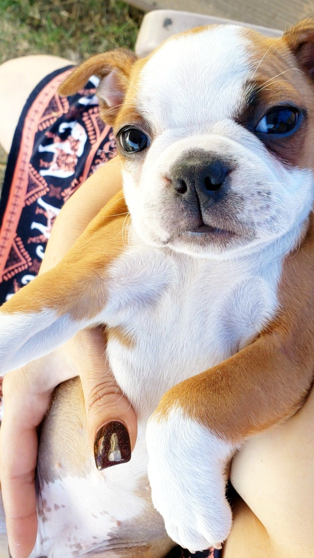 Fawn colored Boston Terrier puppy (With images) Boston