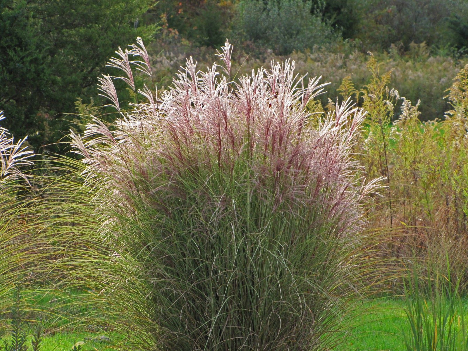 Miscanthus morning light google search 40 hx36 w for Fast growing decorative grass
