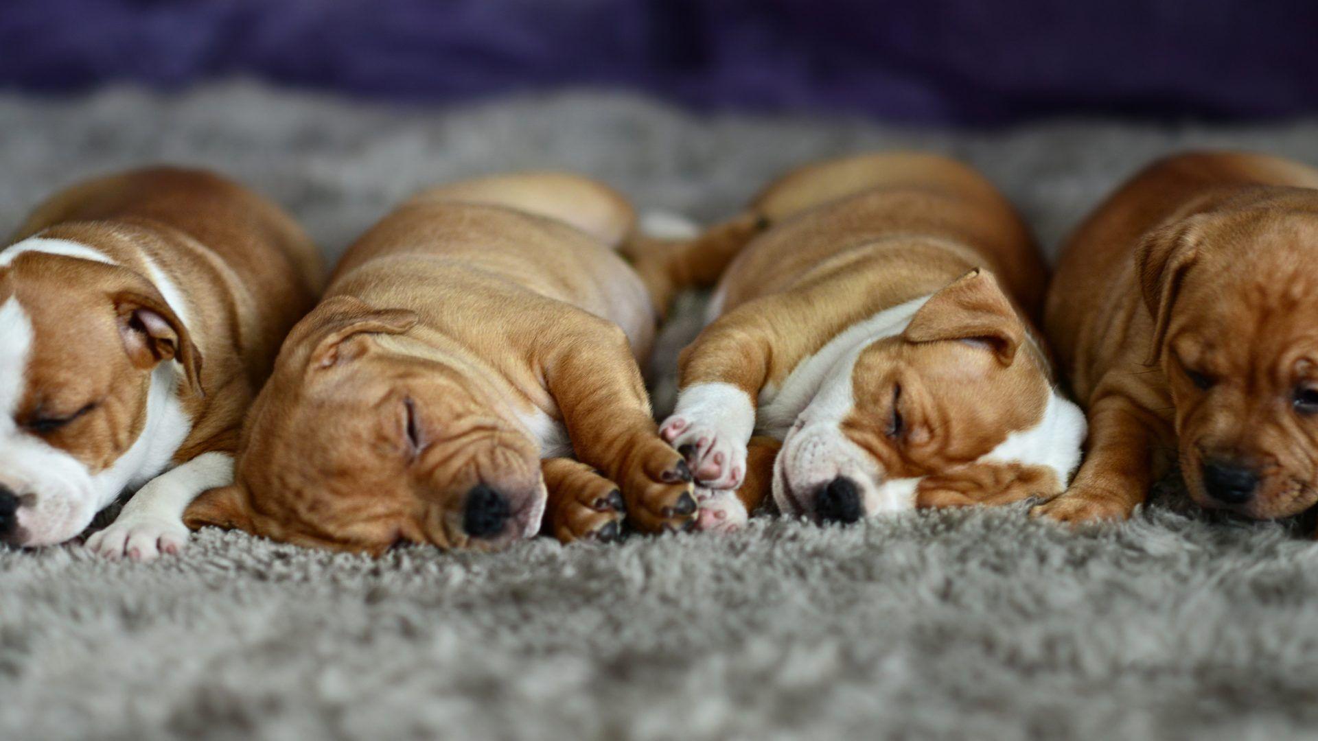 animalli - puppy dog cute sleeping baby sleep animal pictures