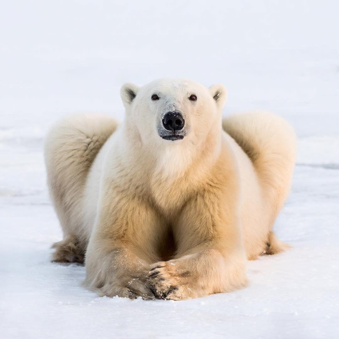 Polar Bear Patience Photo By George Turner Georgetheexplorer Polar Bears Churchill Manitoba Exploremb Explore Polar Bear Churchill Polar Bears Bear