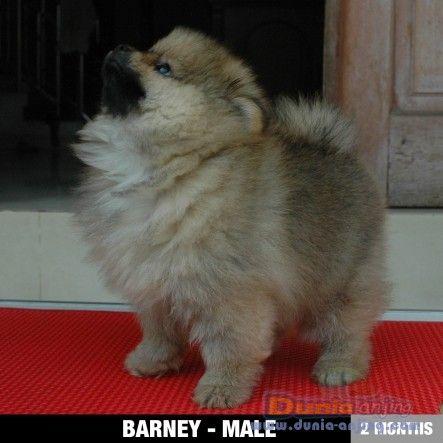 Miniature Teddy Bear Pomeranian Jual Anjing Pomeranian 1