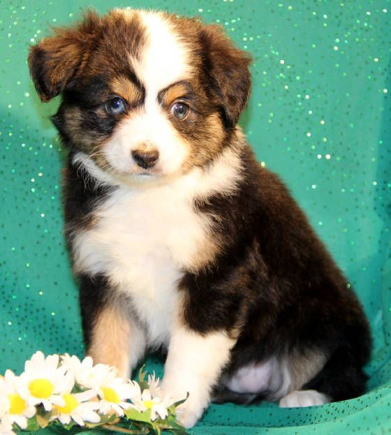 Toy Mini Australian Shepherd Pups For Sale Co Tug Yurhart