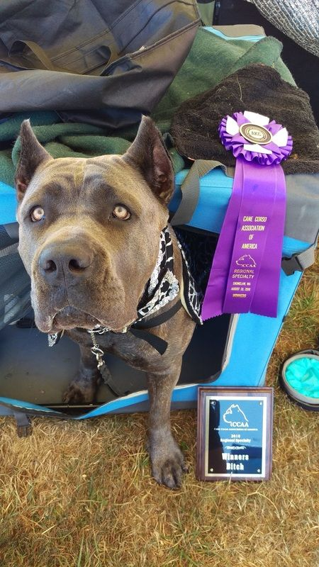 Cane Corso Price Cane Corso Pups Puppies Cane Corso Breeder Northern California How Much Does A Cane Corso Pu Pitbull Puppies Cane Corso Cane Corso Puppies