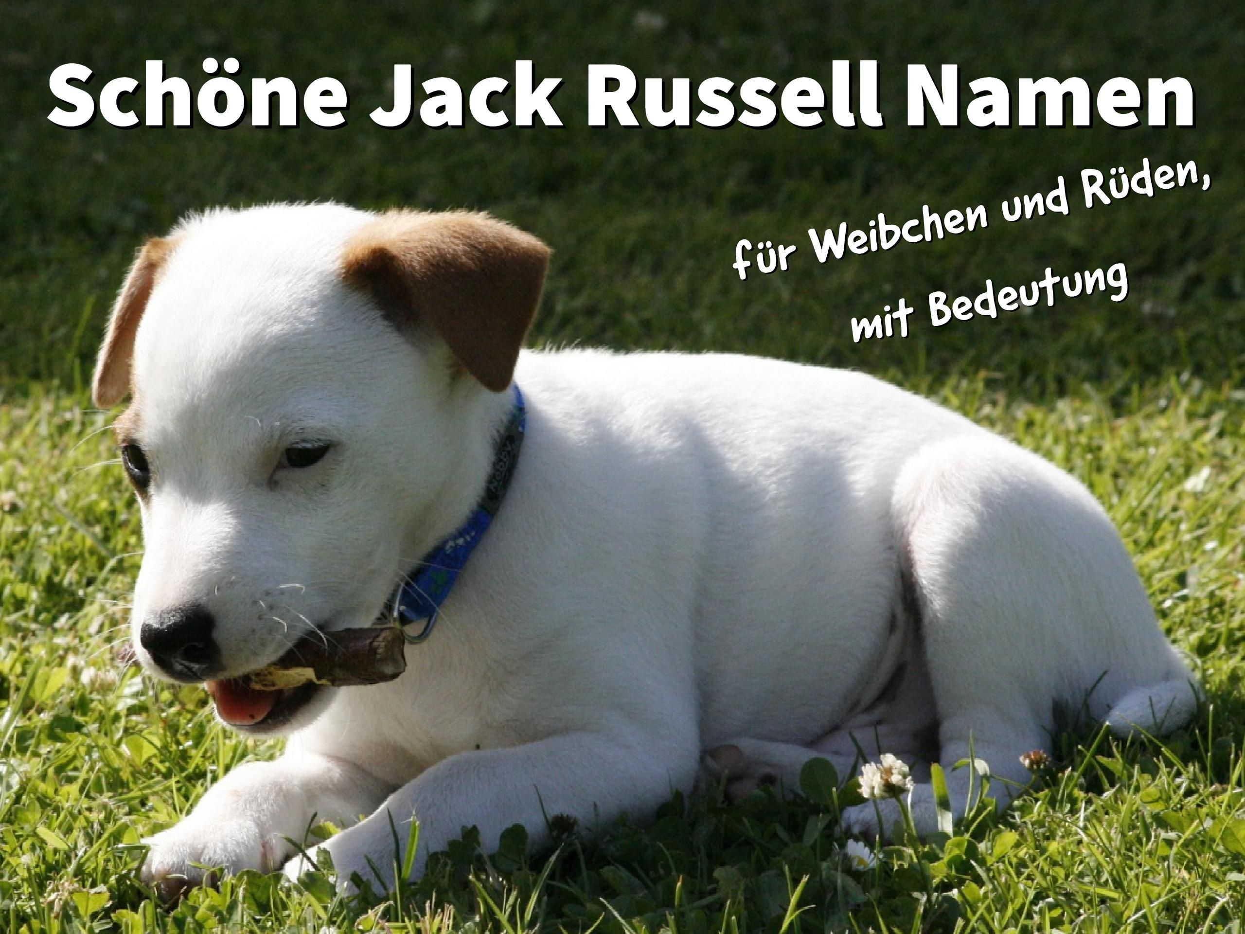 21 Schone Jack Russell Namen Fur Weibchen Und Ruden Mit Bedeutung Jack Russel Welpe Hundenamen Weibchen