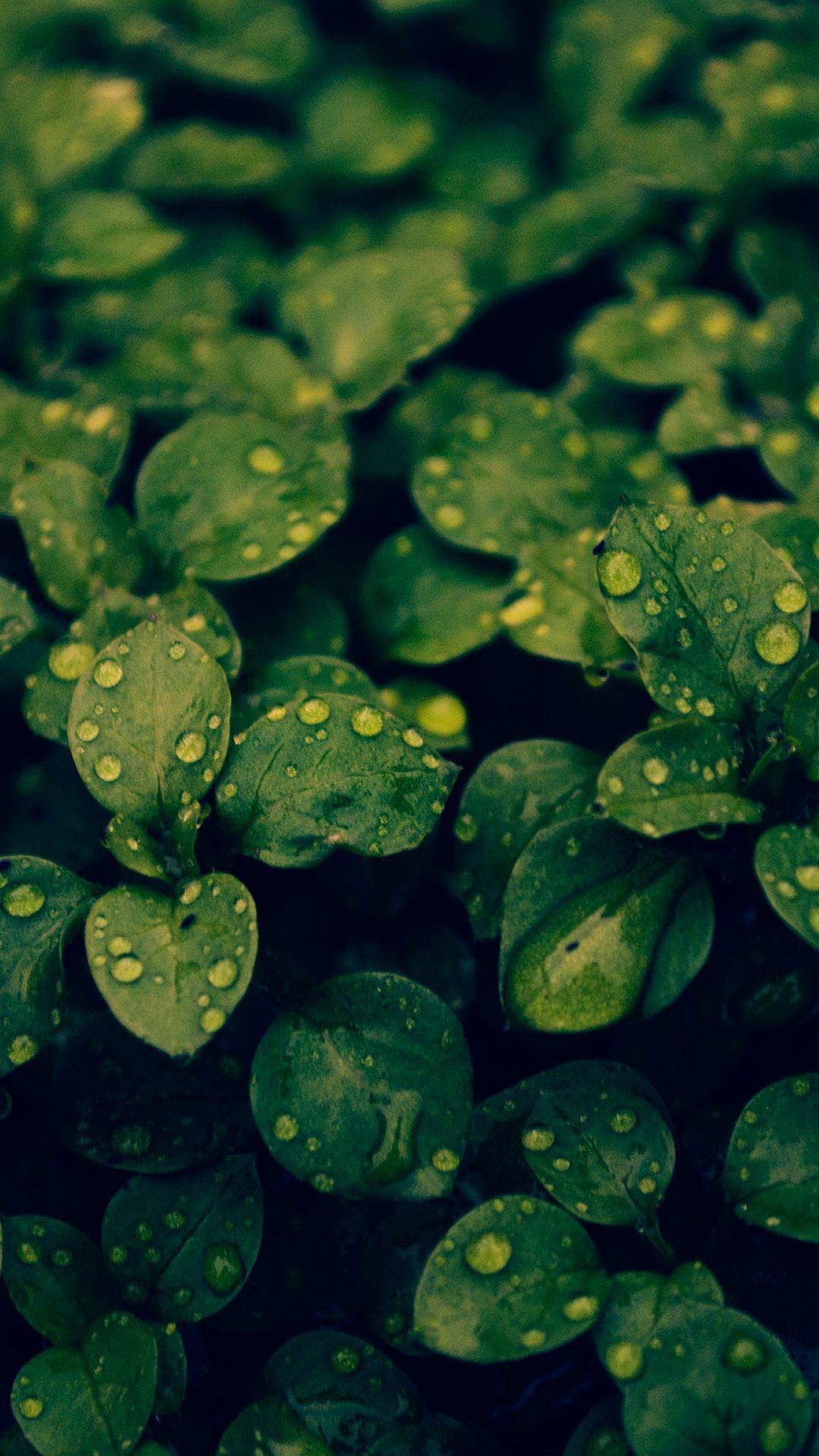 Fresh Dew Green Leafy Branch iPhone 6 plus wallpaper