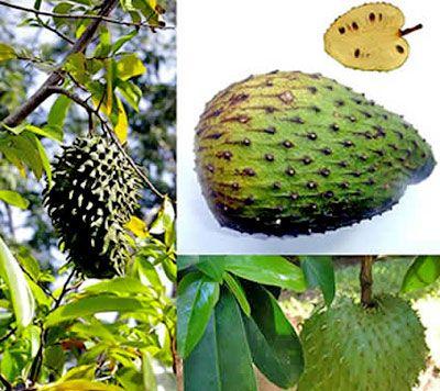 Frucht der Stachelannone 100mal stärker für die Krebsbekämpfung als Chemotherapie
