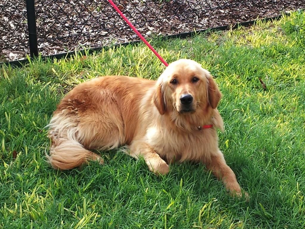 Lux is a one year old female Golden. Golden Retriever