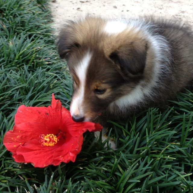 Sheltie puppy and a flower?!
