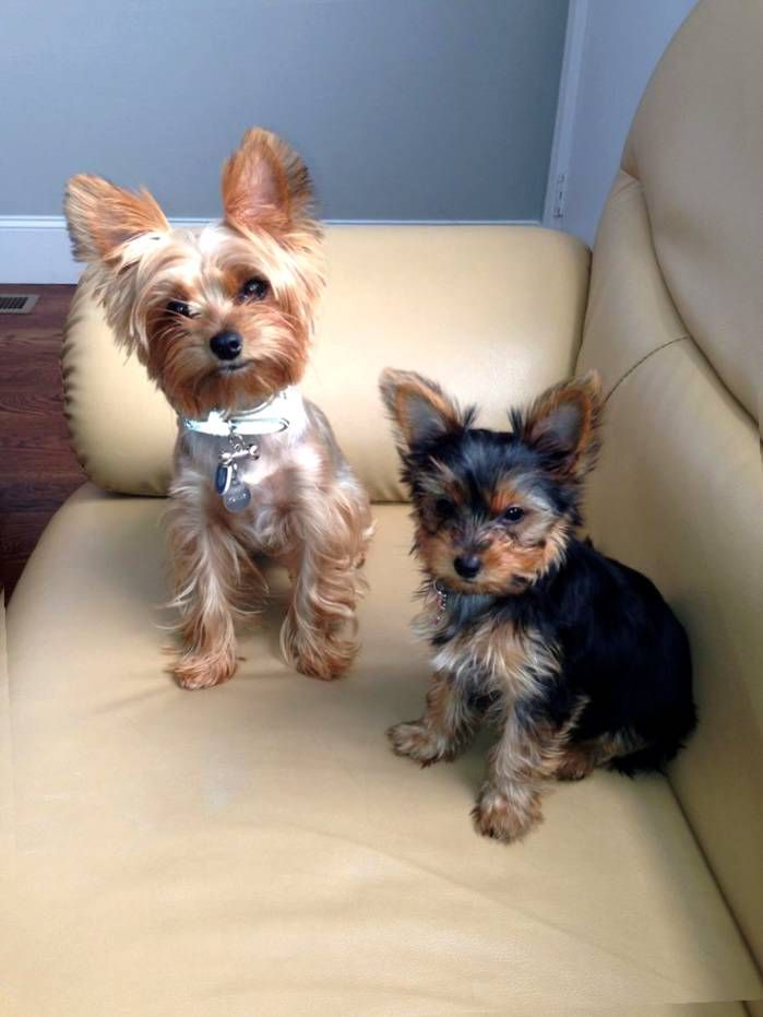 Image Result For Short Haircut Yorkie Yorkshire Terrier Dogs
