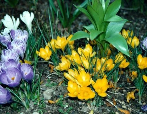 Rosliny Cebulowe Kiedy Sadzic Cebule Tulipanow Narcyzow Hiacyntow Muratordom Pl Propagating Plants Crocus Plants