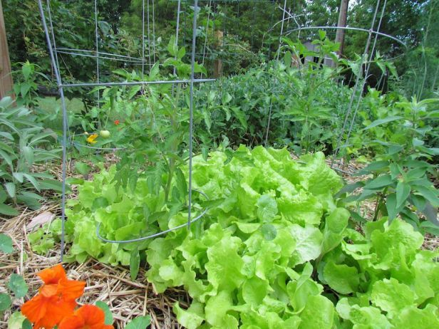 Learning about Lettuce | Greenland Garden Raised Bed Gardens. Lettuce can be grown between tomato plants since they do not compete for nutrients.