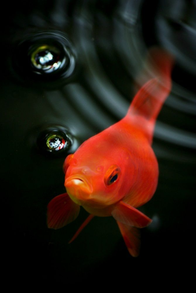 On Golden Pond Fish Photography Love Pinterest Goldfish And Bubbles