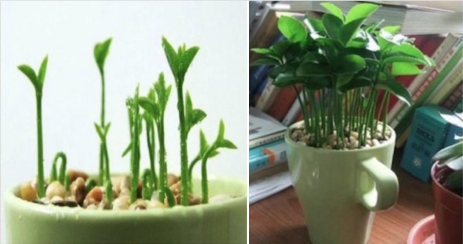 Apprenez à planter un citron dans une tasse et votre