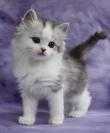 So Sweet Ragamuffin Kittens Cute Cats And Kittens Kittens Cutest