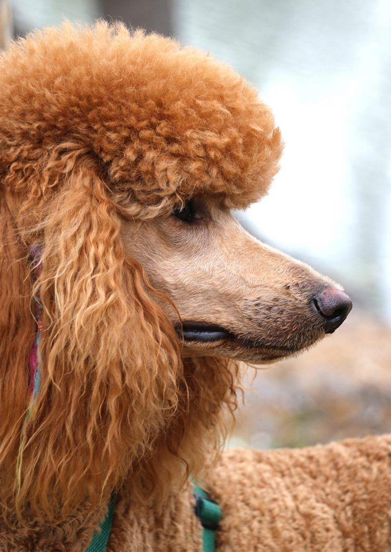 Standard Poodle Dog Breed Information Center Poodle Poodle