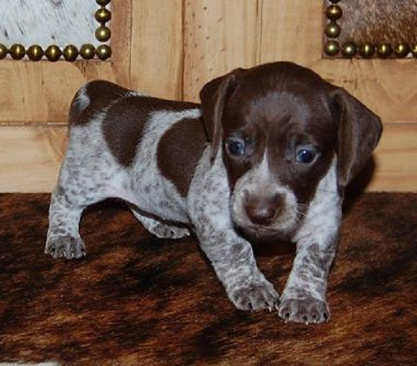 Chocolate Piebald Dachshund Puppies Zoe Fans Blog Piebald