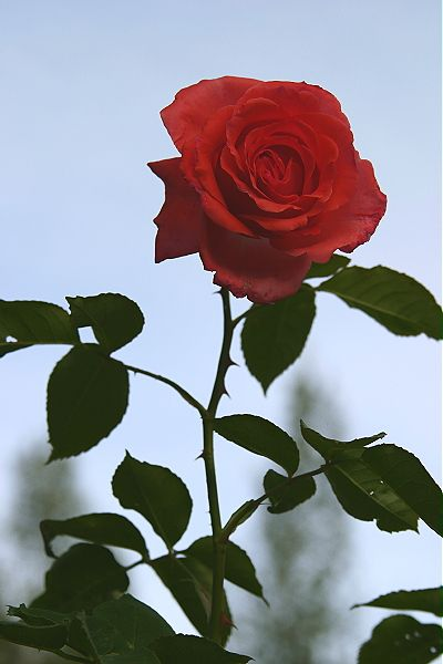 Red Rose With Stem And Thorns Ar5ghydt Jpg 400 600 Pixels Beautiful Flower Drawings Aesthetic Roses Rose Stem