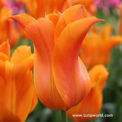 Ballerina Lily Tulip Bulbous Plants Bulb Flowers