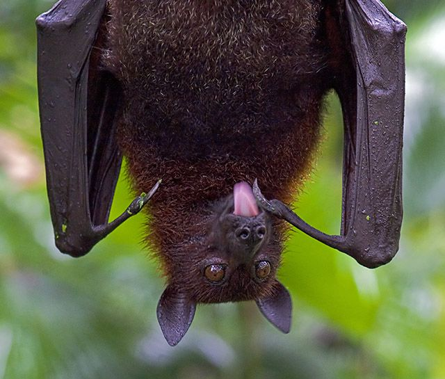 All Bats Are Pretty Cute But Flying Foxes With Their Tongues Out