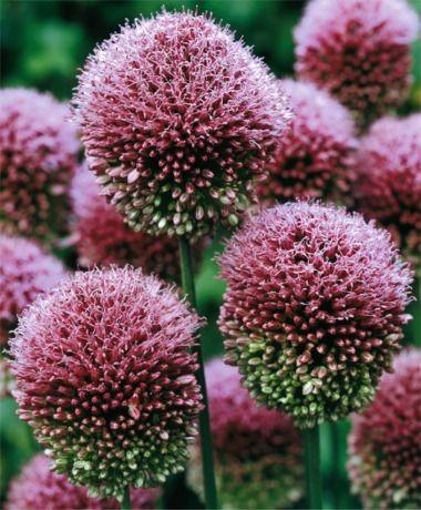 Allium sphaerocephalon - Allium - Fall 2014 Flower Bulbs