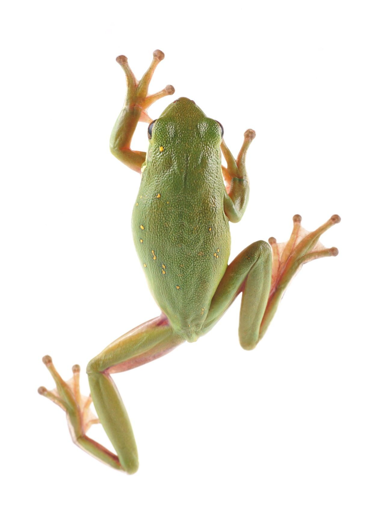 Green Tree Frog Climbing | Rainforest frog, Green tree ...