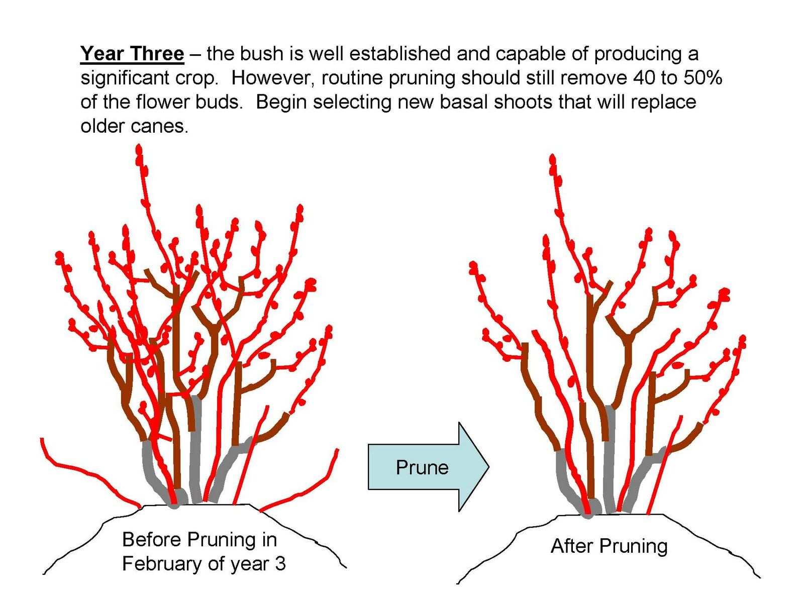 Young Blueberry Bushes Are Usually Planted In Late Winter While Fully Dormant And Leafless In No Blueberry Plant Pruning Blueberry Bushes Blueberry Gardening