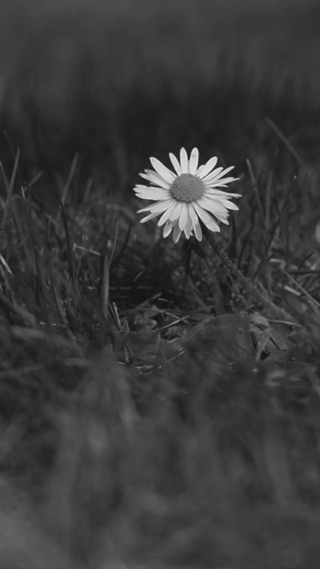 Meadows Landscape Black And White Daisy Daisy Paysage Live Food