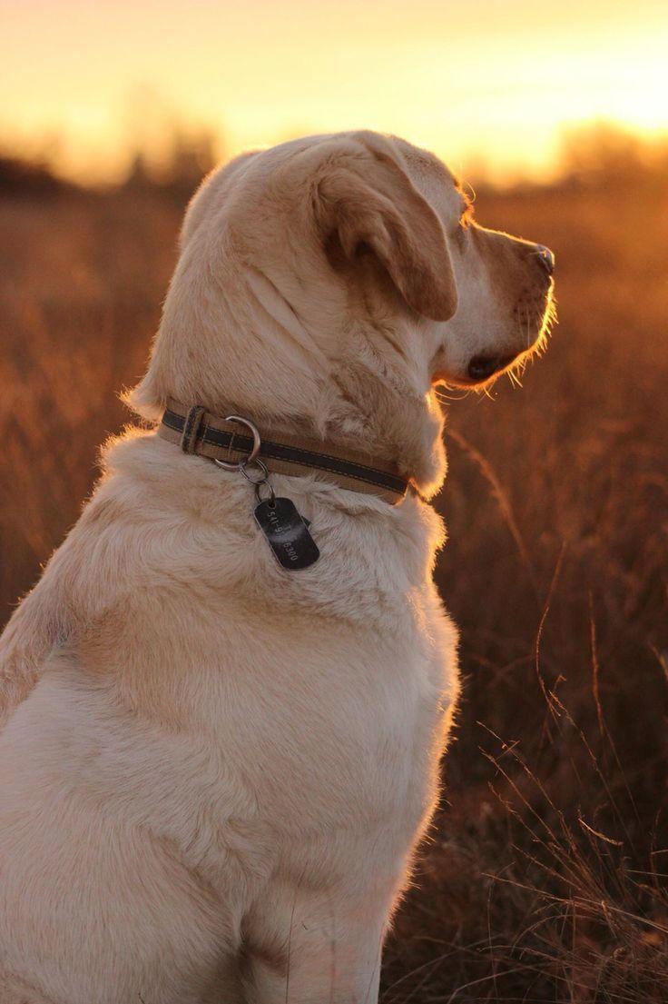 Nach dem Regen kommt immer die Sonne #labradorretrieverpuppies