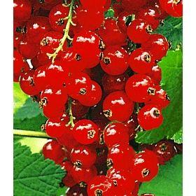 PN4820 Pflanzen - Obstpflanzen - Beeren - Johannisbeere 'Rote Rovada®',1 Strauch