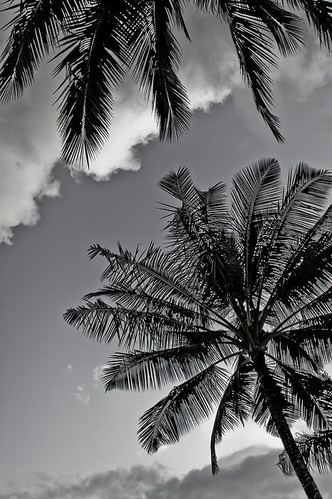 Palm Tree's Black And White by Lannie Boesiger Black