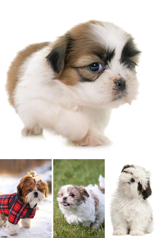 Shih Tzu Puppy Shih Tzu Dog Puppy Dog Pictures Puppies Shih Tzu Dog