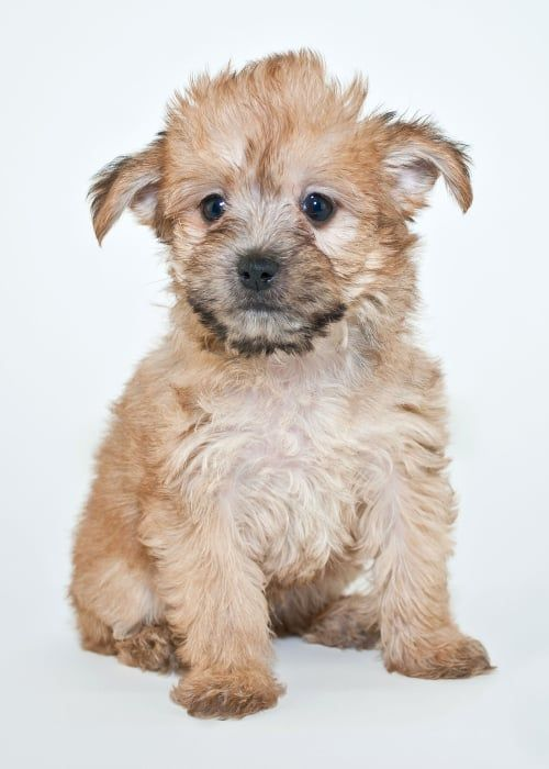Yorkie/poodle mix (aka yorkiepoo) puppy in 2020 | Yorkie ...