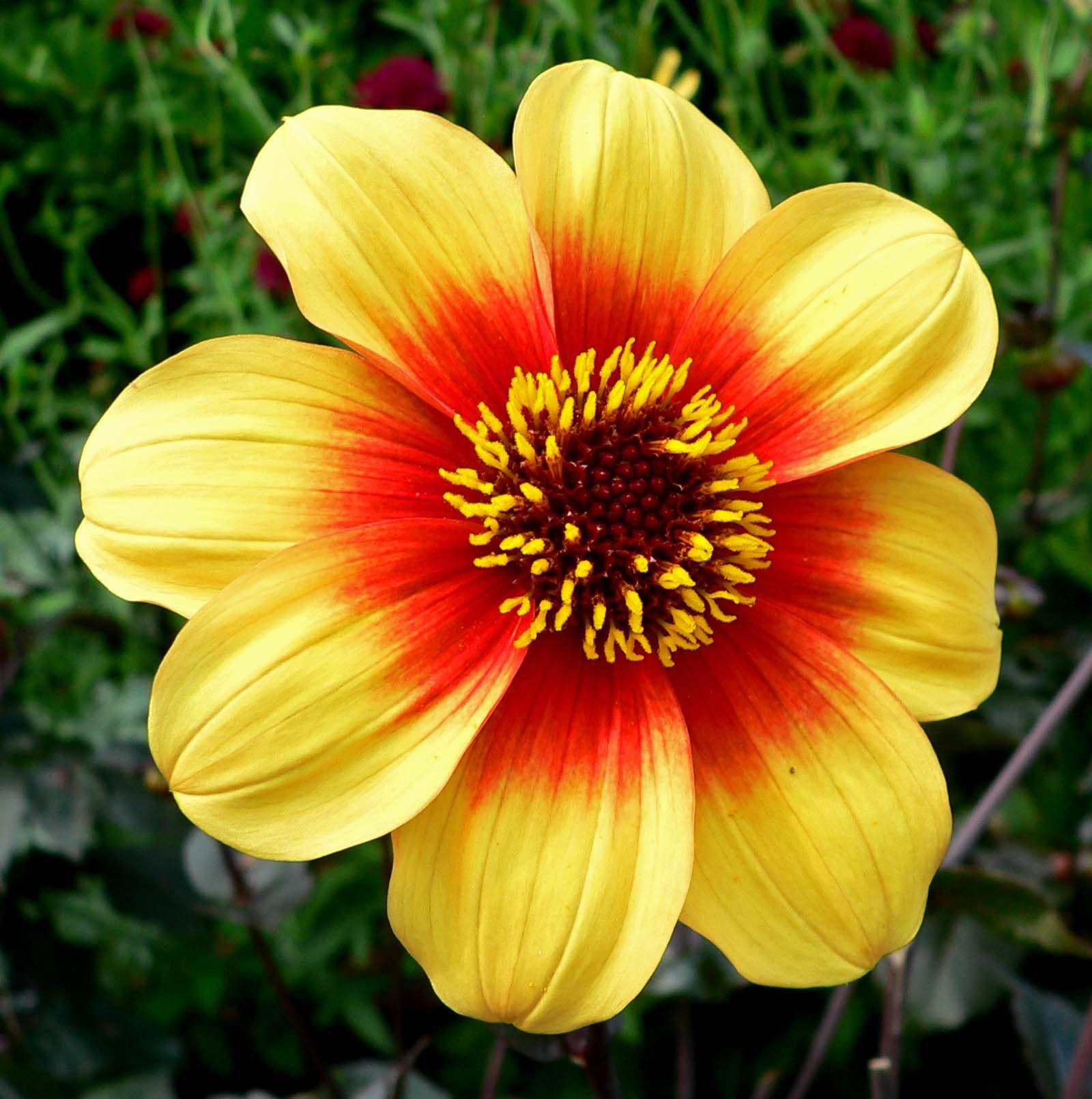 List Of Award Of Garden Merit Dahlias Wikipedia The Free Winter Flowers In Season Beautiful Flowers Summer Flowering Bulbs