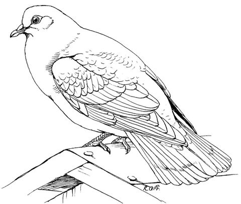 Find This Pin And More On Eclectic Beautiful Birds Rock Dove Coloring Page