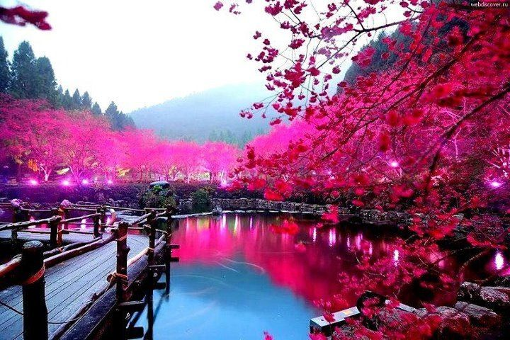 Cherry blossom, Japan