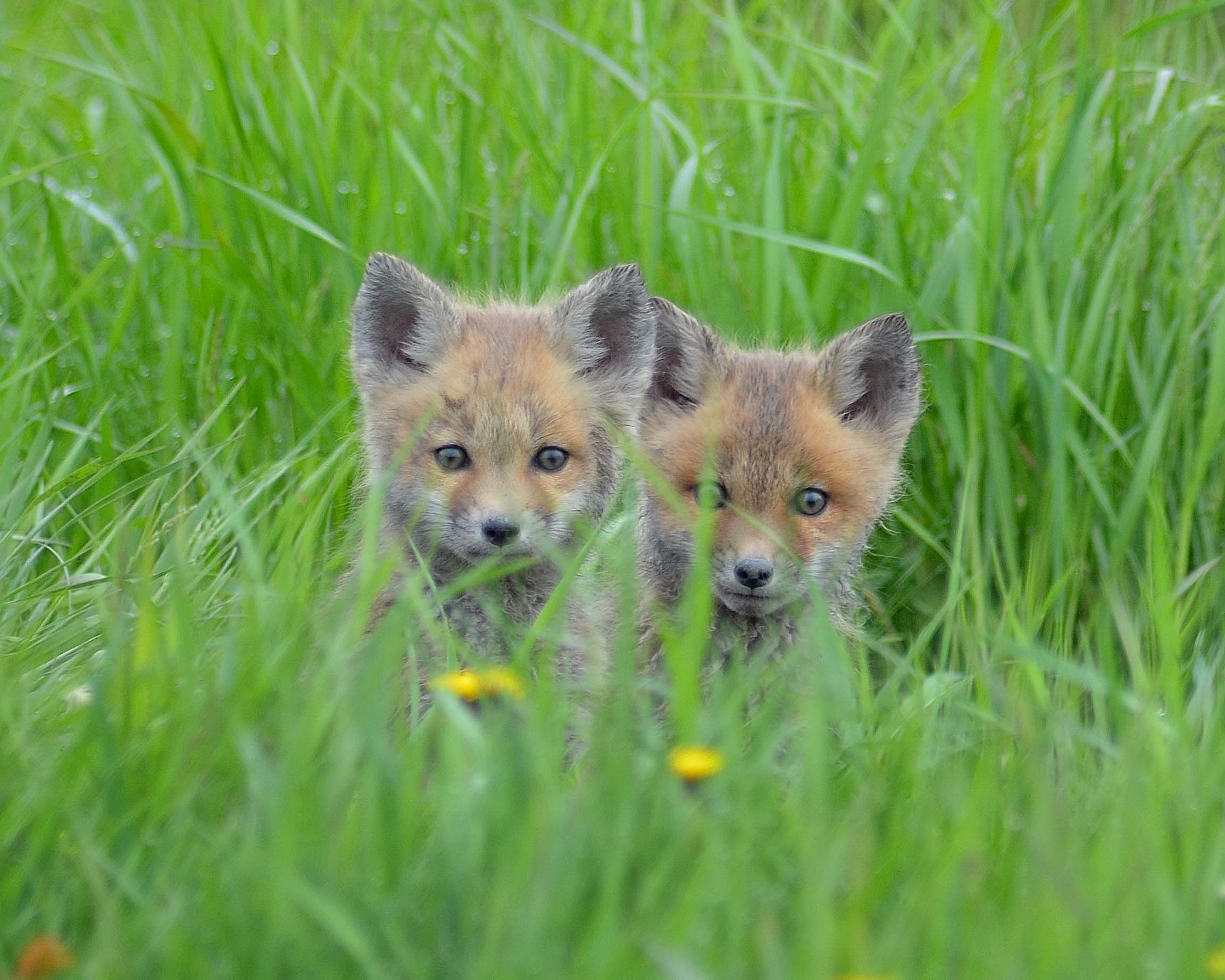 Red Fox Cubs - Photographer unknown
