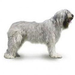 Il Cane Da Pastore Della Russia Meridionale è Un Cane Di Taglia