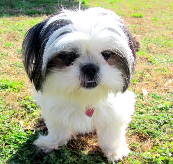 Gracie Is A Fluffy Shih Tzu Dog Shih Tzu Dogs Cute Dogs