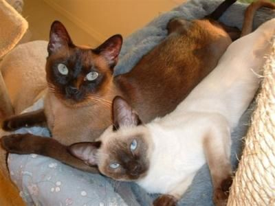 Tonkinese Cat Tonkinese Cat Animals Beautiful Pets