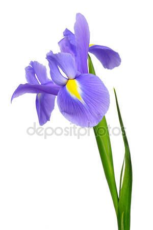 Pin By Ana Carbone On Flower Blue Iris Flowers Purple Iris Flowers Iris Flowers
