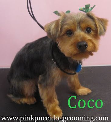 Coco The Yorkshire Terrier Torrance Dog Grooming Pet Spa Pink Pucci Groomer Yorkshire Terrier Fur Babies Pet Spa
