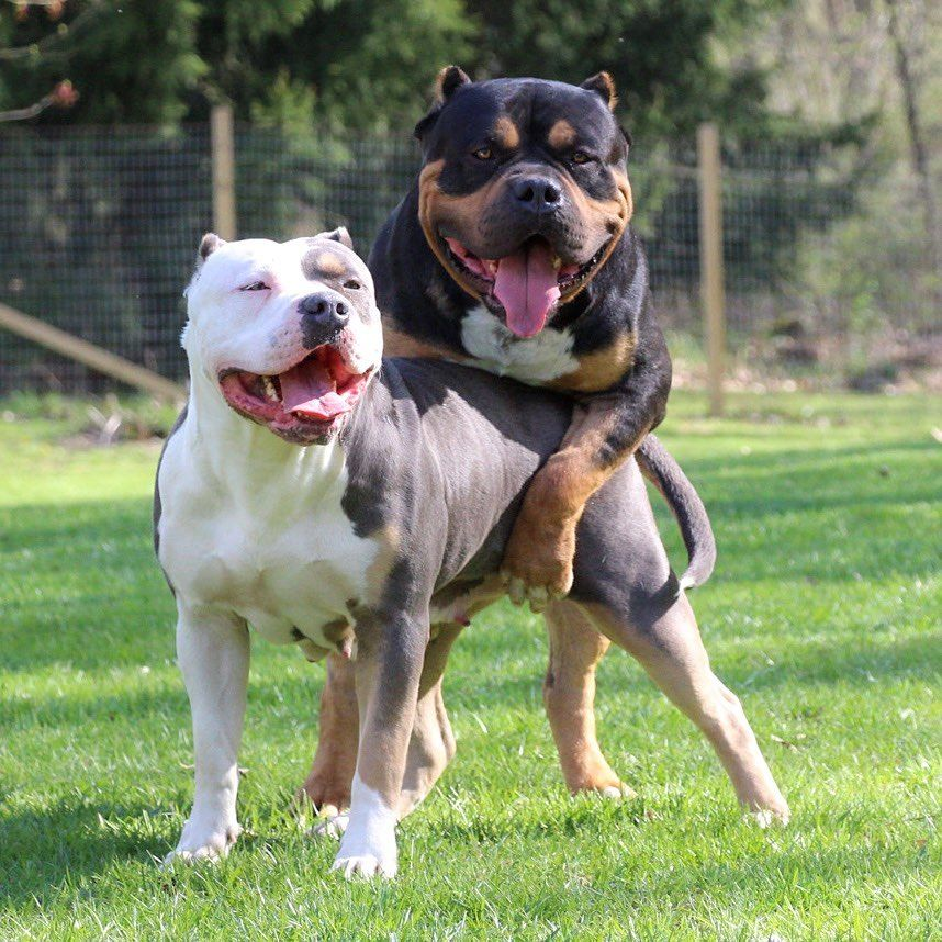 Xl american bully puppies for sale michigan