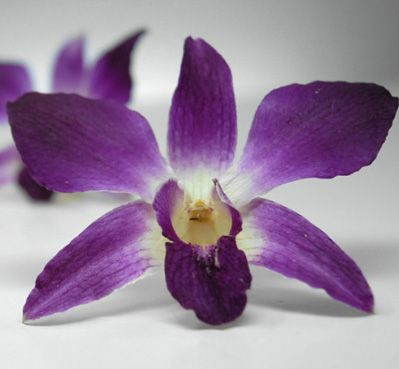 30 Purple White Preserved Orchids Flowers