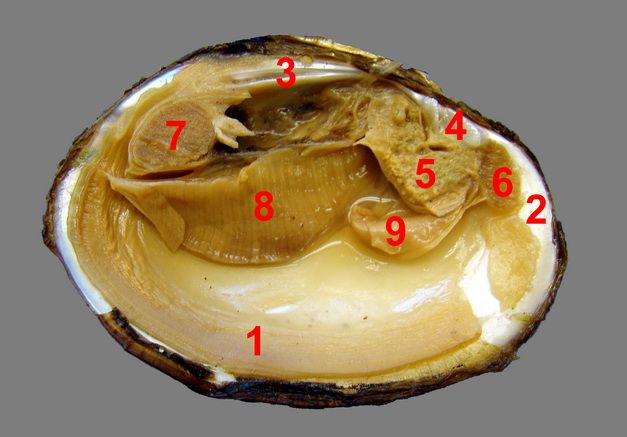 Fresh Water Mussel Dissection | Zoology | Pinterest | Mussels and ...