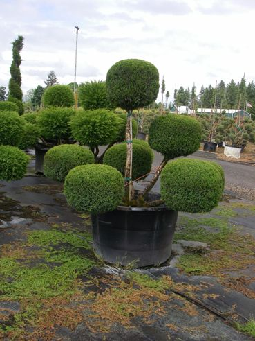 Juniper Mint Julep Pom Modern Landscaping Plants Topiary Buche