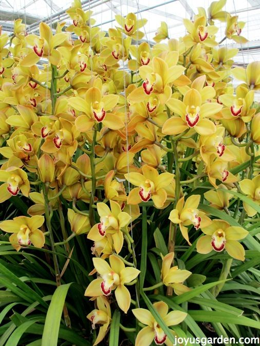 Flower Friday Yellow Orchids Cymbidium Orchids Care Orchid Plants Cymbidium Orchids