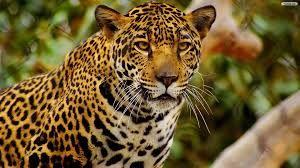 Znalezione obrazy dla zapytania jaguar