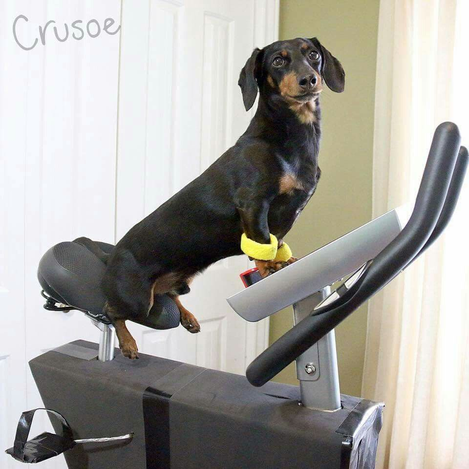 Yes I Exercise Crusoe The Celebrity Dachshund Dog Show Wiener Dog
